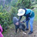 Vacunación contra peste porcina benefició a más de 6 mil productores de Apurímac