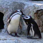 """Pareja de pingüinos gays: padres """"ejemplares"""" en el zoo de San Francisco (video)"""