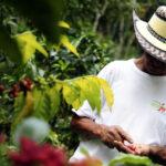 Café por coca, la esperanza de un grupo de campesinos en centro de Colombia
