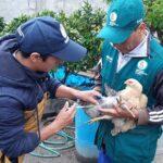 SENASA registra vacunación de más de 29 mil aves contra Newcastle en Apurímac