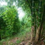 Chanchamayo: Bambú será protagonista de actividades para promocionar su uso