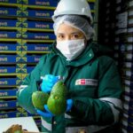 Industria mexicana preparará guacamole con palta peruana