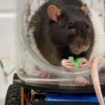 Las ratas aprenden a conducir con tal de conseguir comida