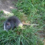 Avistan ejemplar de rata chinchilla en el Santuario Machu Picchu