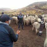 Arequipa: Fortalecerán valor genético de ganado alpaquero en ocho distritos