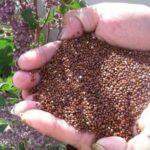 Superalimentos andinos: qué propiedades nutricionales tienen la quinua, kiwicha y cañihua